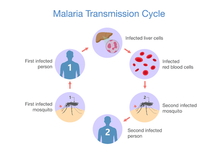 Illustration showing Malaria transmission cycle. Step of infections in people with mosquito. Illustration