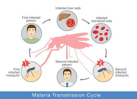 Infographic diagram Illustration showing Malaria transmission cycle. Step of infections in people with mosquito. Ilustração