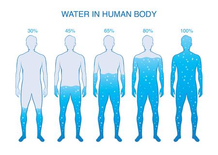 Differenzprozentsatz von Wasser im menschlichen Körper. Illustration über die Zusammensetzung der menschlichen Anatomie.