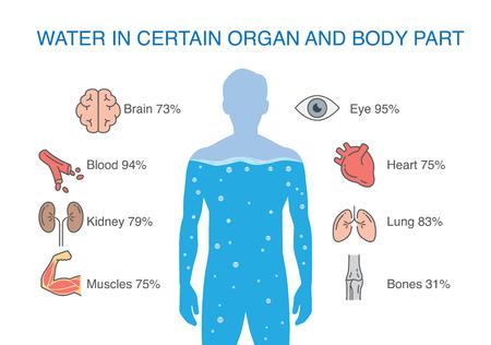 Agua en ciertos órganos y partes del cuerpo del ser humano. Ilustración sobre médicos. Ilustración de vector