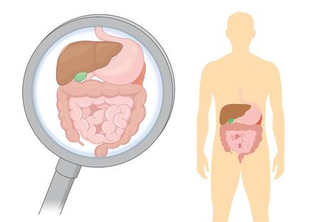 Mirando el órgano interno sobre la digestión humana con lupa. Ilustración sobre asistencia sanitaria y médica.