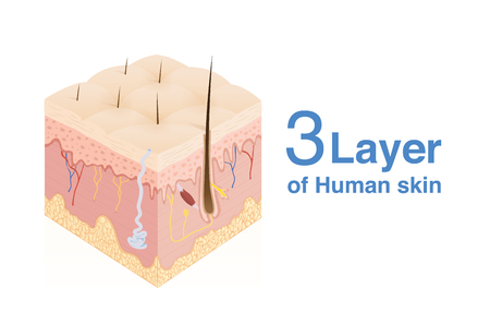 3 Layer of human Skin in isometric style. Illustration about medical and health.  イラスト・ベクター素材