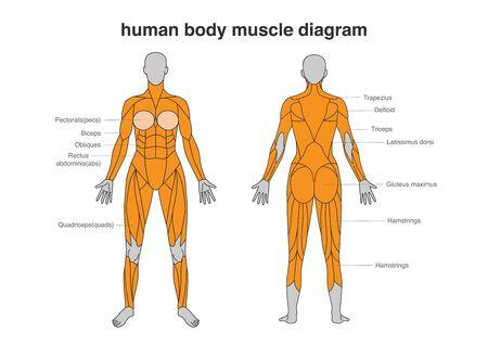 Diagrama de los músculos del cuerpo de la mujer en la parte delantera y trasera de cuerpo entero. Ilustración sobre musculación y anatomía.