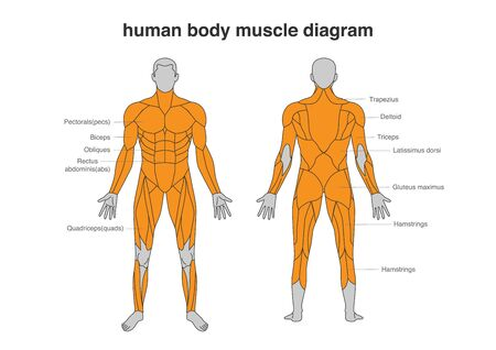 Human body Muscles Diagram in Full Length front and Back side. Illustration about bodybuilding and Anatomy.  イラスト・ベクター素材