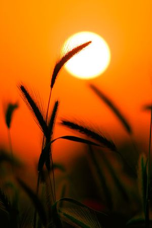Grass Silhouette Against Sunset, Close up of ripening rye ears. Secale cereale L. Southern California, USA Stock Photo - 2483522