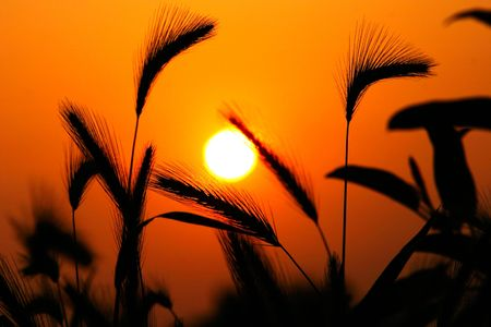 secale: Grass Silhouette Against Sunset, Close up of ripening rye ears. Secale cereale L. Southern California, USA