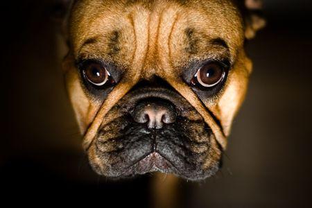 Pet Friend. French Bulldog Portrait. Shallow DOF, Focus on Eyes.
