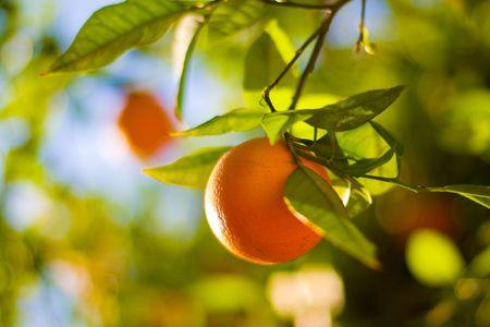 shallow dof: Ripe Oranges On An Orange Tree Close-Up. Shallow DOF. Stock Photo