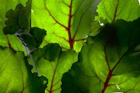 Backlit Green Background Of Beet Leaves 写真素材