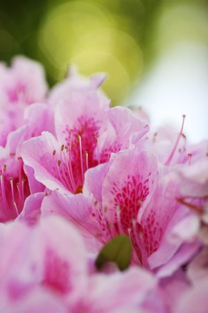 Floral background. Close-up of Azalea flowers. Shallow DOF, focus on pistil and stamens. photo