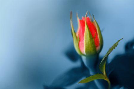 Beautiful red rose, closed.