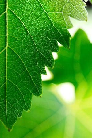 shallow dof: Grape leaves background. Shallow DOF. Stock Photo