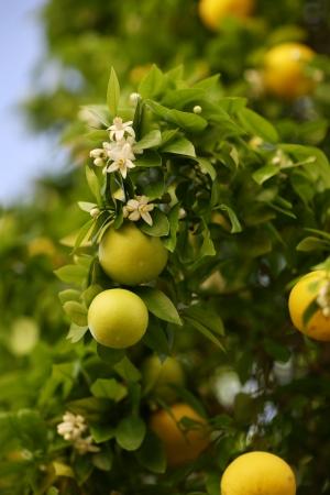 toronja: Greapfruit florecimiento de �rboles con frutas y flores  Foto de archivo