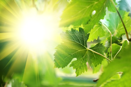 shining through: Sole che splende attraverso foglie di vite, close-up Archivio Fotografico