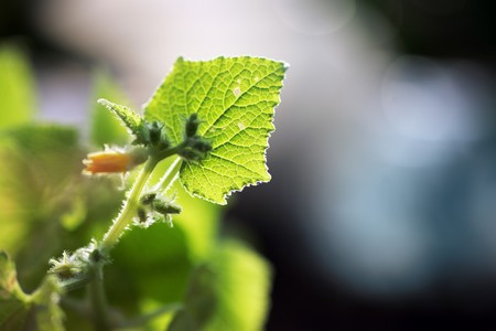 Young cucumber plant outdoors, macro close-up on a green leaf. Shallow DOF. Stock Photo - 4238073