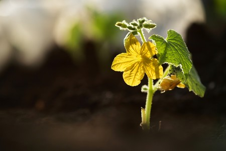 shallow dof: Small cucumber plant with flower growing from soil outdoors. Macro, shallow DOF. Stock Photo