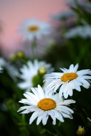 Beautiful daisies at twilight, close-up. photo