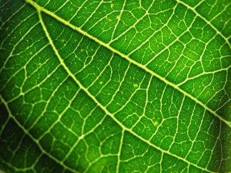 Green leaf macro texture, close-up.