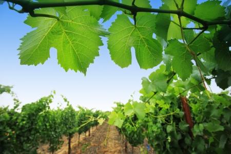 napa valley: Grapevine plants in Napa Valley, California, USA. Shallow DOF.