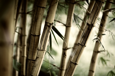 Bamboo forest background. Shallow DOF.