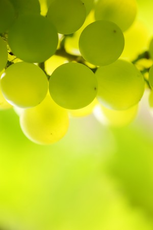 Close-up of a bunch of grapes on grapevine in vineyard. Shallow DOF. Stock Photo