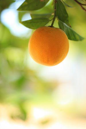 Ripe orange fruit on a tree. Close-up, shallow DOF. photo