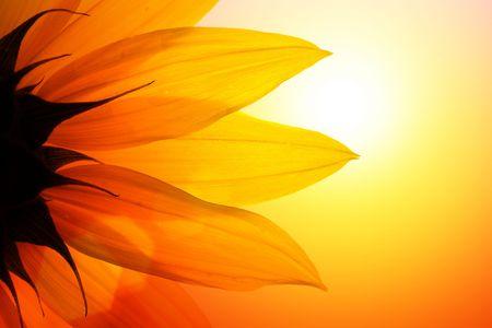girasol: Detalle de la puesta de sol sobre el cielo de girasol