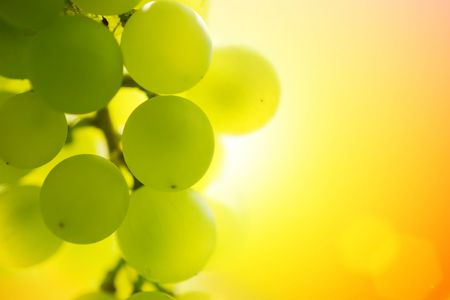 grape leaf: Close-up of a bunch of grapes on grapevine at susnset. Shallow DOF. Stock Photo
