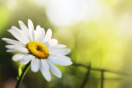 Beautiful daisy flower. Close-up, shallow DOF. Stock Photo