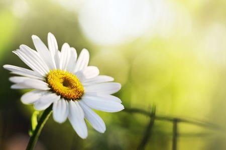 shallow: Beautiful daisy flower. Close-up, shallow DOF. Stock Photo