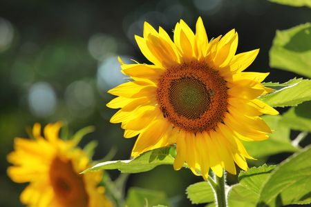Big beautiful sunflowers outdoors. Shallow DOF.