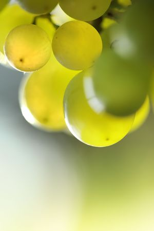 Close-up of a bunch of grapes on grapevine in vineyard. Shallow DOF.