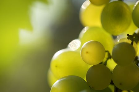 grapes on vine: Close-up of a bunch of grapes on grapevine in vineyard. Shallow DOF.