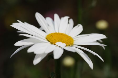 Macro close-up of a daisy flower in field. Shallow DOF. photo