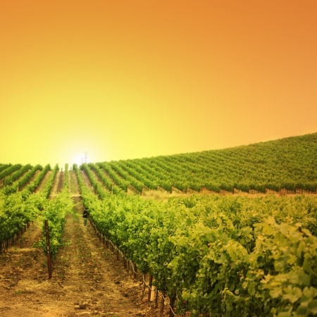 Vineyard on a hill at sunset Stock Photo