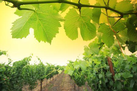 Grapevine plants in Napa Valley, California, USA. Shallow DOF. photo
