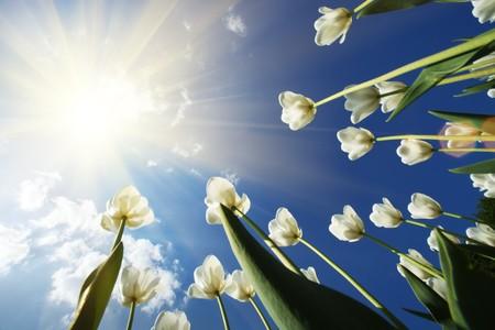 Witte tulpen bloemen groeien over de blauwe hemel achtergrond. Brede hoek mening.