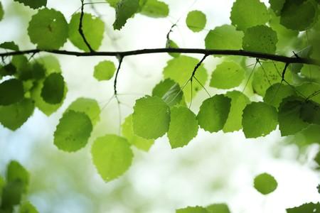 bosquet: Hermoso abedul verde deja sobre fondo borrosa. DOF superficial.