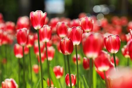 dof: Field of red tulip flowers. Shallow DOF.