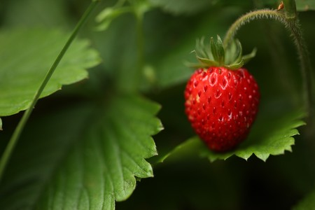 Wild strawberry berry growing in natural environment. Macro close-up. photo