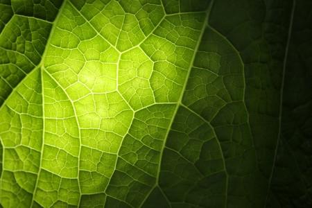 háttérvilágítású: Zöld levél háttér textúra, makro