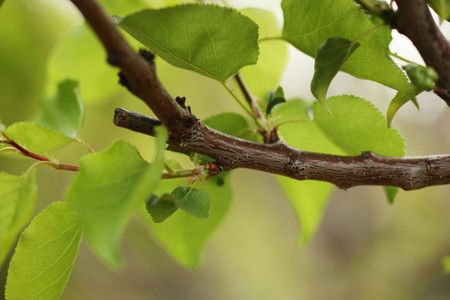Pruned tree branch with green leaves. Close-up, shallow DOF. Stock Photo - 7622242