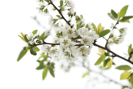 White flowers blooming on tree branch. Shallow DOF. photo
