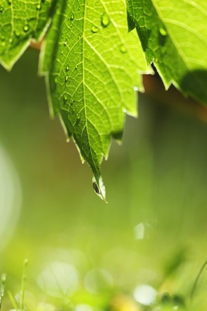 Green leaf with water drop over bright grass. Shallow DOF. photo