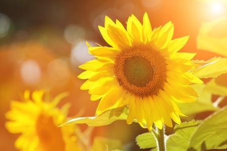 sol radiante: Girasoles hermosos grandes al aire libre. DOF superficial. Foto de archivo