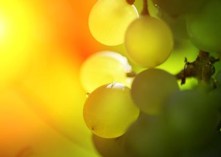 포도 수확: Close-up of a bunch of grapes on grapevine in vineyard. Shallow DOF.