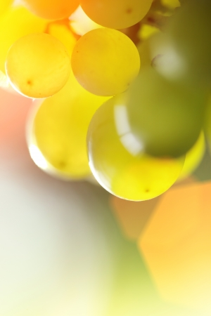 Close-up of a bunch of grapes on grapevine in vineyard. Shallow DOF.  Stock Photo - 8393388