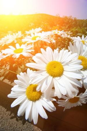 Daisy flowers. Wide angle close-up. photo
