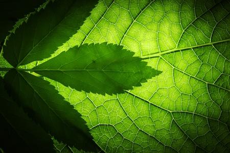 Textura de fondo de hoja verde, macro Foto de archivo - 8393609