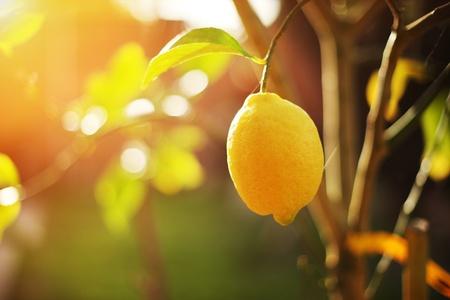Ripe lemon hangs on tree branch in sunshine. Closeup, shallow DOF. Stock Photo